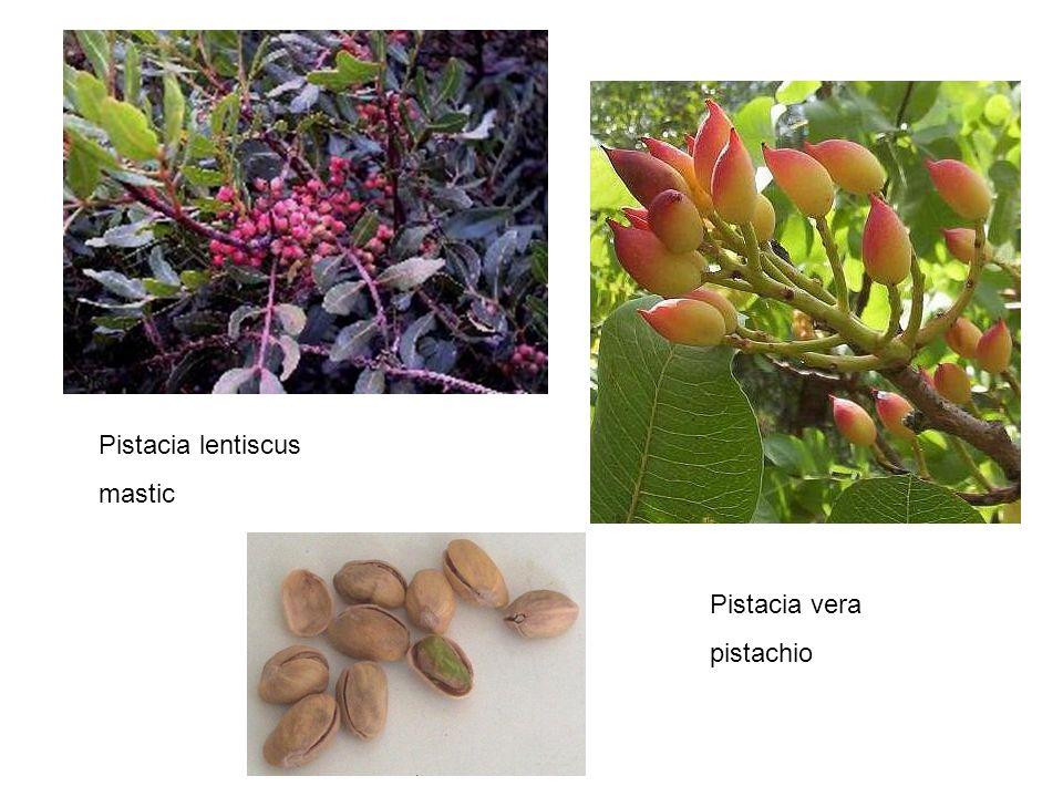 Pistacia lentiscus mastic Pistacia vera pistachio