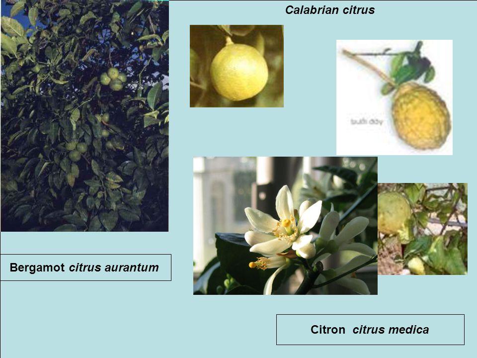 Bergamot citrus aurantum Citron citrus medica Calabrian citrus