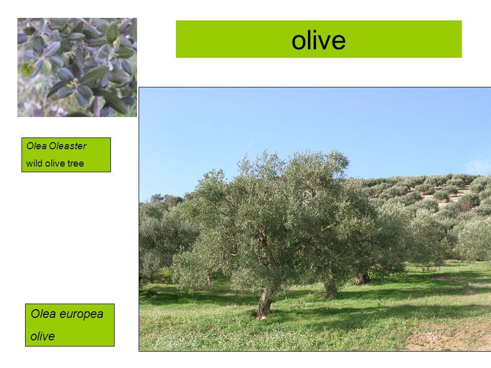 olive Olea Oleaster wild olive tree Olea europea olive