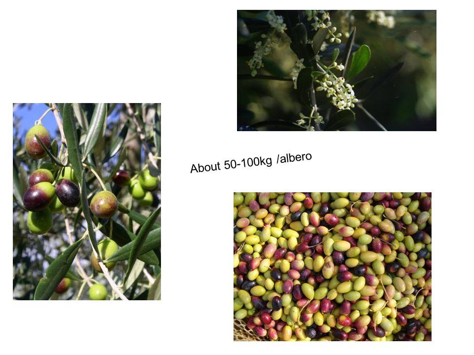 About 50-100kg /albero