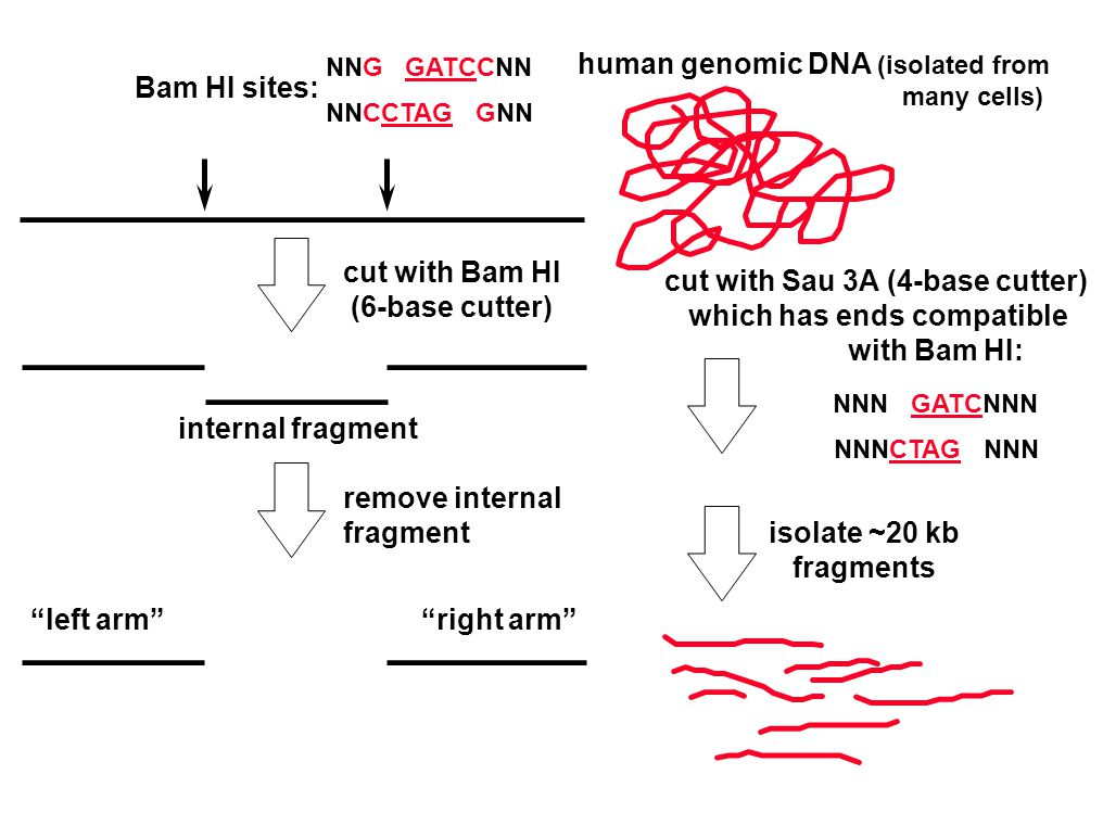 NNG GATCCNN NNCCTAG GNN internal fragment cut with Bam HI (6-base cutter) remove internal fragment left arm right arm cut with Sau 3A (4-base cutter) which has ends compatible with Bam HI: NNN GATCNNN NNNCTAG NNN isolate ~20 kb fragments human genomic DNA (isolated from many cells) Bam HI sites: