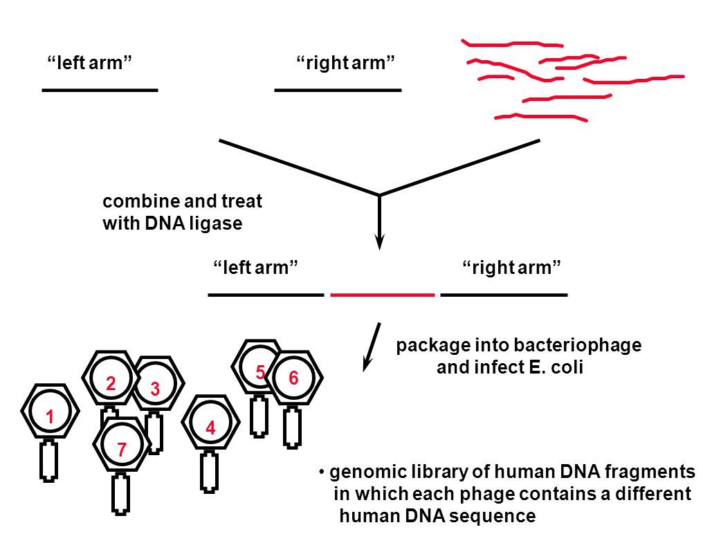 combine and treat with DNA ligase left arm right arm left arm right arm package into bacteriophage and infect E.
