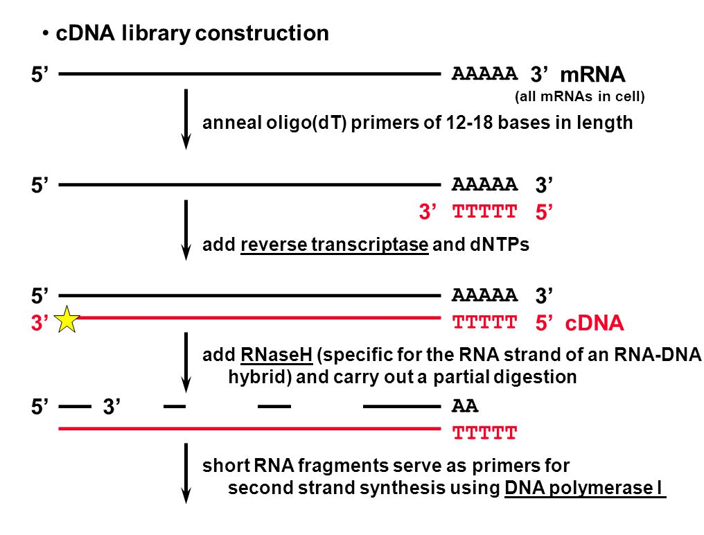 cDNA library construction AAAAA 5'3' mRNA (all mRNAs in cell) anneal oligo(dT) primers of 12-18 bases in length AAAAA TTTTT 5'3' 5' add reverse transcriptase and dNTPs AAAAA TTTTT 5' 3' 5' cDNA add RNaseH (specific for the RNA strand of an RNA-DNA hybrid) and carry out a partial digestion AA TTTTT 5' short RNA fragments serve as primers for second strand synthesis using DNA polymerase I 3'