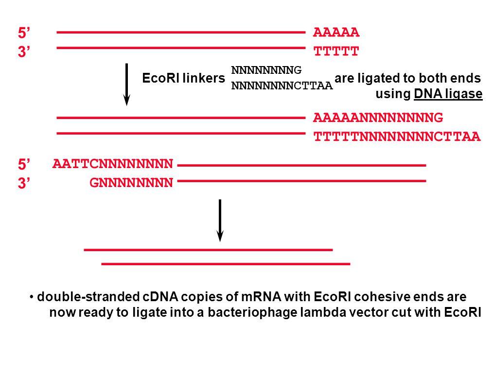 AAAAA TTTTT 5' 3' NNNNNNNNG NNNNNNNNCTTAA EcoRI linkers are ligated to both ends using DNA ligase AAAAANNNNNNNNG TTTTTNNNNNNNNCTTAA double-stranded cDNA copies of mRNA with EcoRI cohesive ends are now ready to ligate into a bacteriophage lambda vector cut with EcoRI 5' 3' AATTCNNNNNNNN GNNNNNNNN