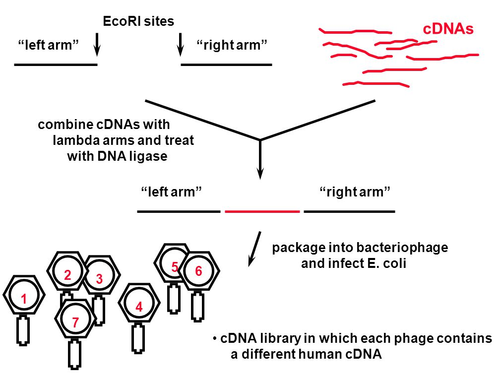 EcoRI sites combine cDNAs with lambda arms and treat with DNA ligase left arm right arm left arm right arm package into bacteriophage and infect E.