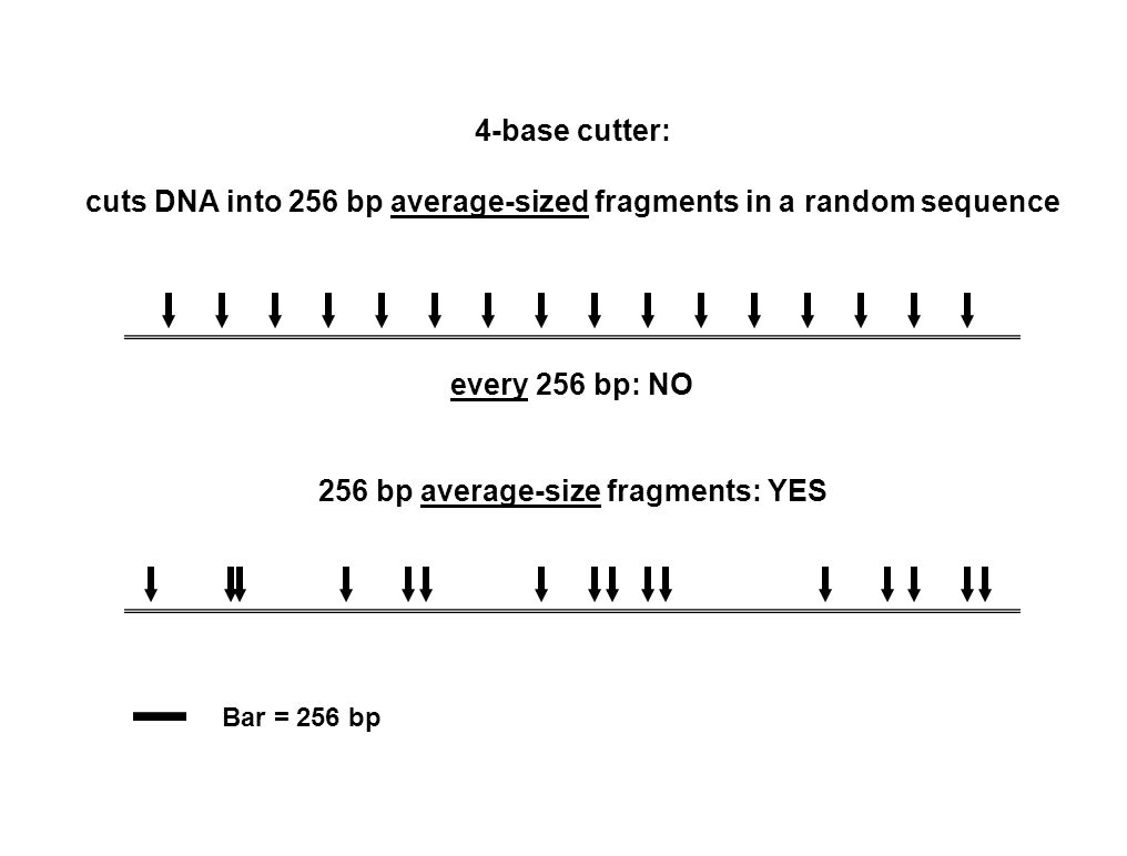 4-base cutter: cuts DNA into 256 bp average-sized fragments in a random sequence every 256 bp: NO 256 bp average-size fragments: YES Bar = 256 bp
