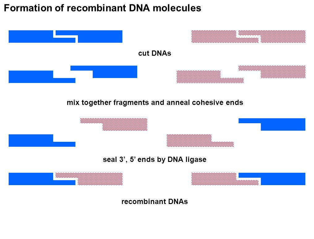 Formation of recombinant DNA molecules cut DNAs mix together fragments and anneal cohesive ends seal 3', 5' ends by DNA ligase recombinant DNAs