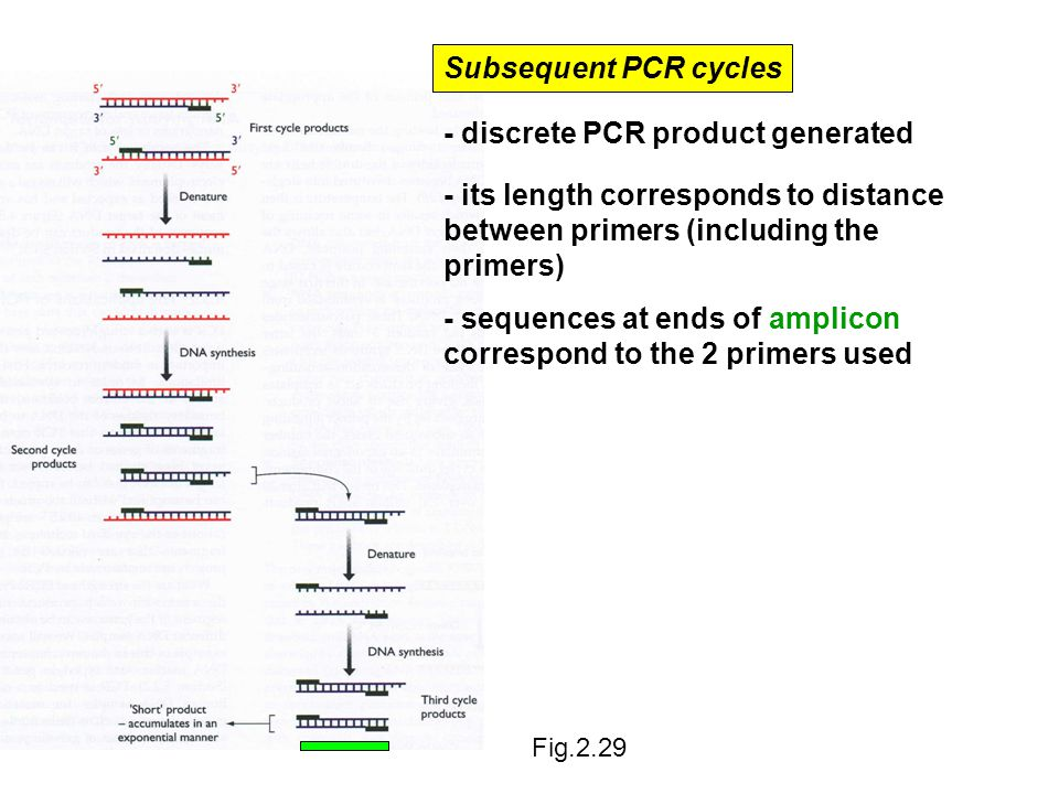 Subsequent PCR cycles - discrete PCR product generated - sequences at ends of amplicon correspond to the 2 primers used - its length corresponds to distance between primers (including the primers) Fig.2.29
