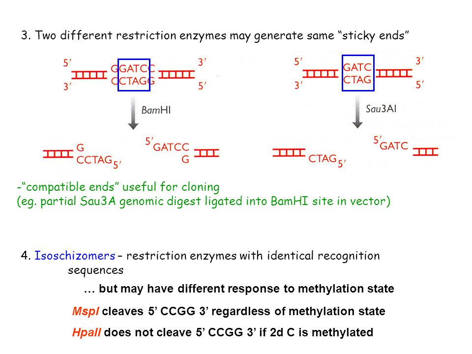 - compatible ends useful for cloning (eg.