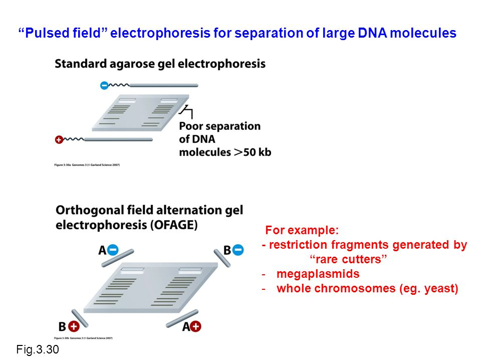 Pulsed field electrophoresis for separation of large DNA molecules Fig.3.30 For example: - restriction fragments generated by rare cutters -megaplasmids -whole chromosomes (eg.