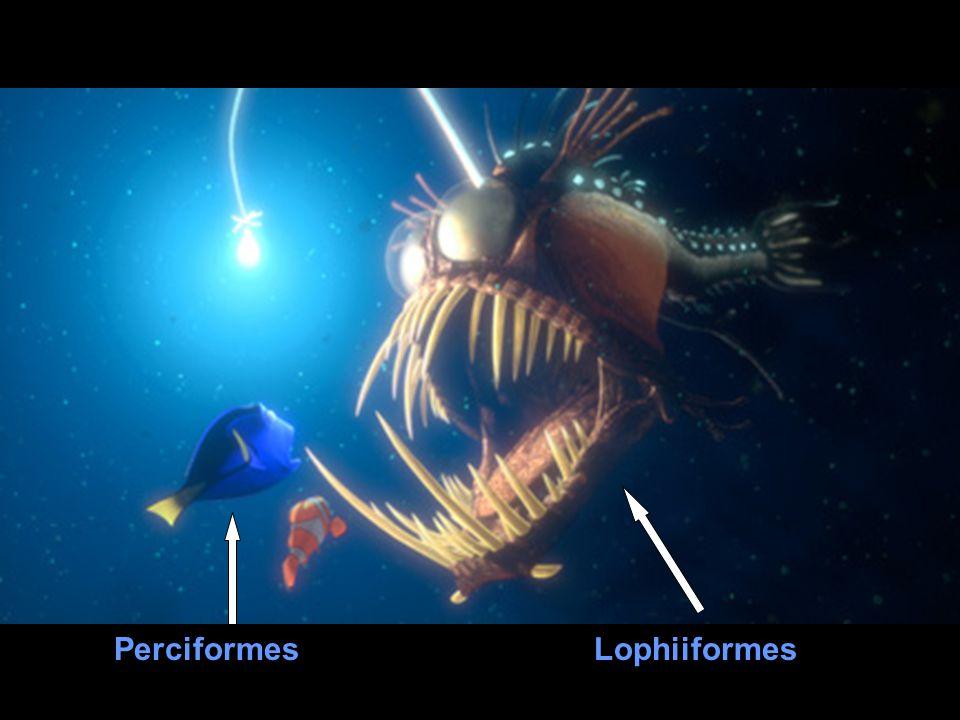 LophiiformesPerciformes