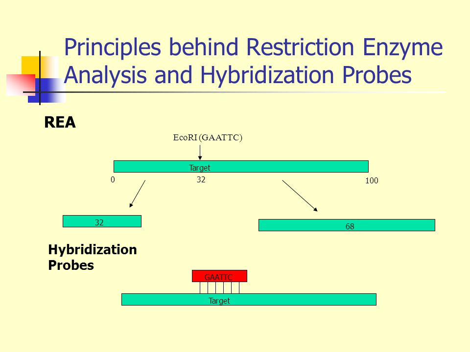 Principles behind Restriction Enzyme Analysis and Hybridization Probes EcoRI (GAATTC) 0 100 32 68 GAATTC Target Hybridization Probes REA