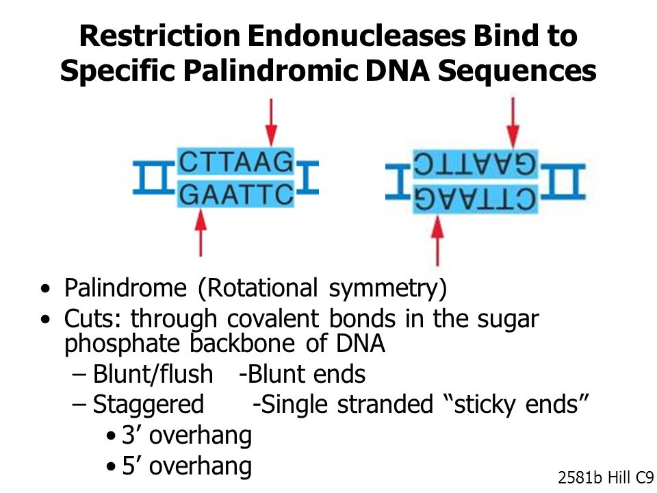 Restriction Endonucleases Bind to Specific Palindromic DNA Sequences Palindrome (Rotational symmetry) Cuts: through covalent bonds in the sugar phosphate backbone of DNA –Blunt/flush -Blunt ends –Staggered -Single stranded sticky ends 3' overhang 5' overhang 2581b Hill C9