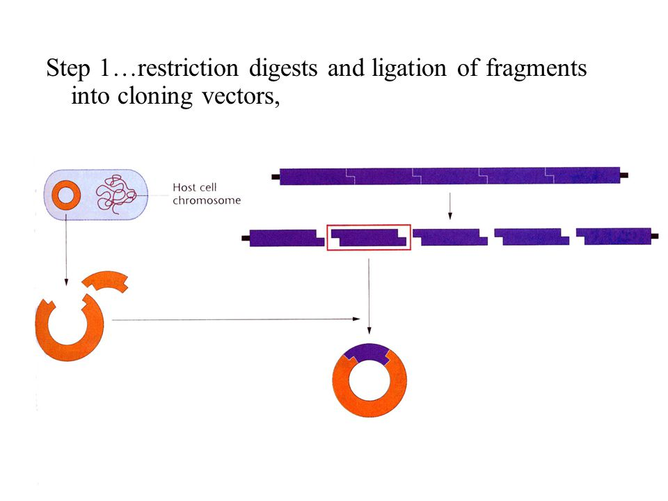 Step 1…restriction digests and ligation of fragments into cloning vectors,