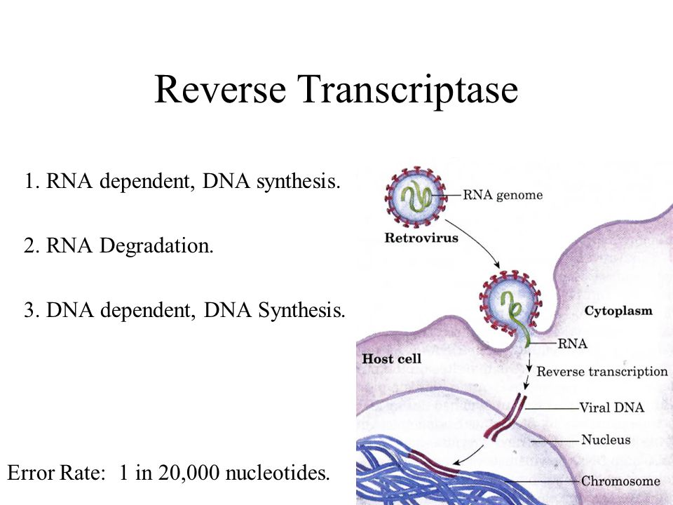 Reverse Transcriptase 1. RNA dependent, DNA synthesis.