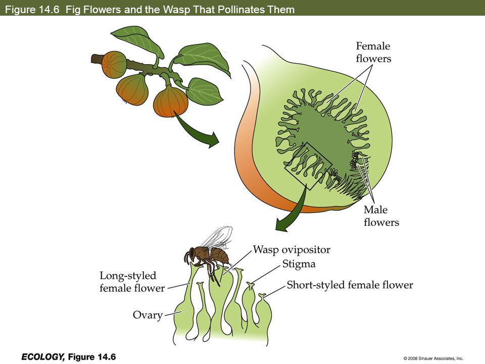 Figure 14.6 Fig Flowers and the Wasp That Pollinates Them