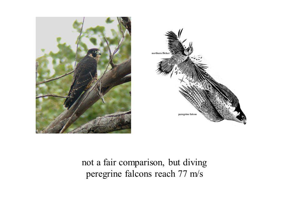 not a fair comparison, but diving peregrine falcons reach 77 m/s