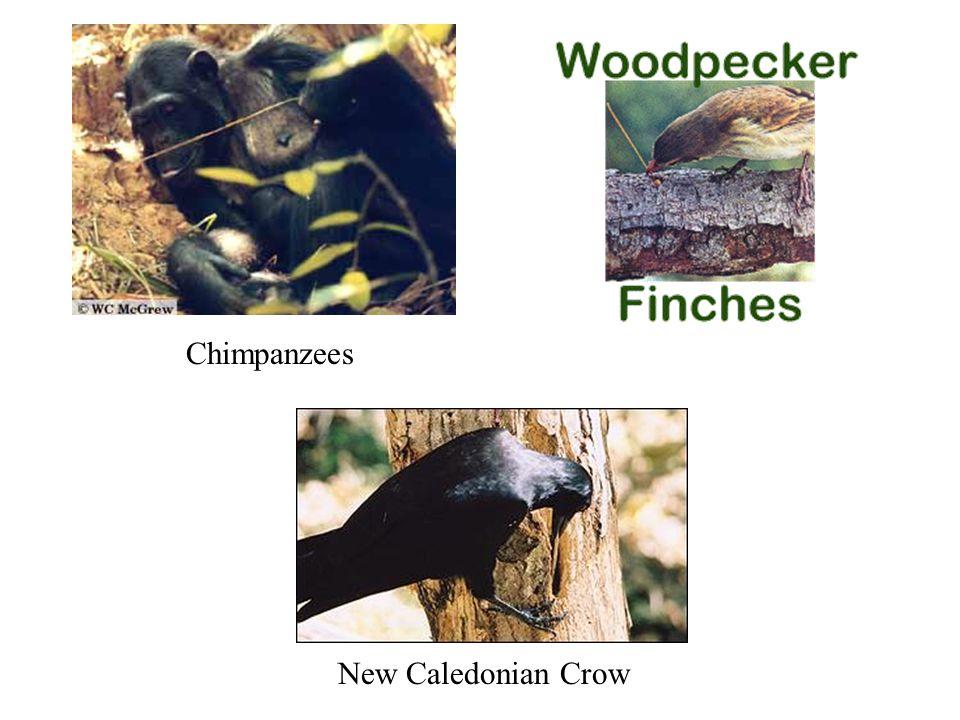 New Caledonian Crow Chimpanzees
