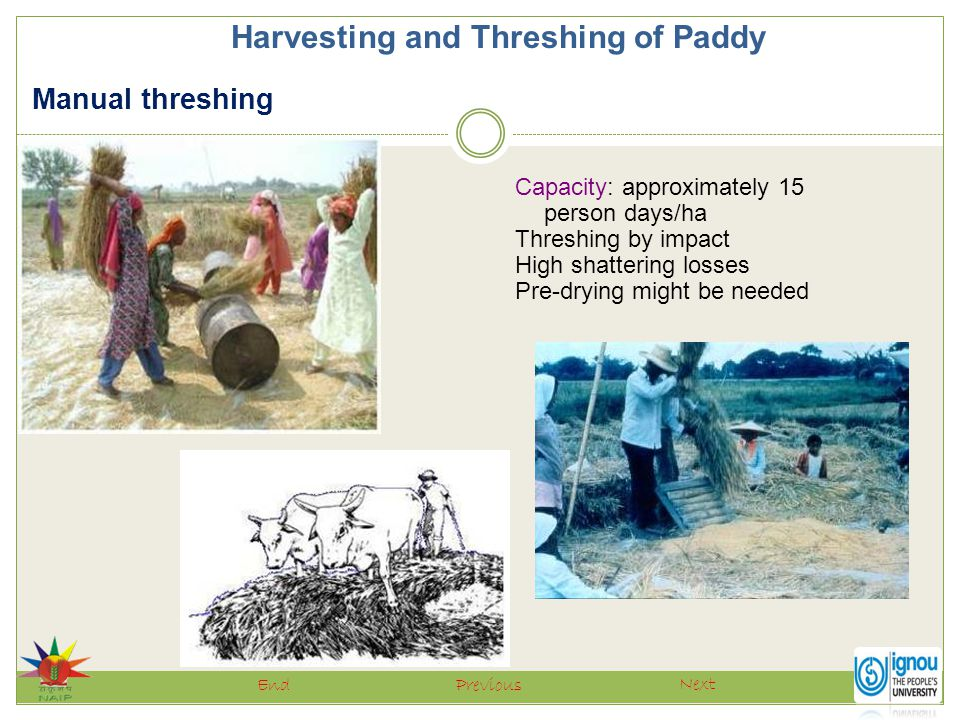 Harvesting and Threshing of Paddy Next PreviousEnd Capacity: approximately 15 person days/ha Threshing by impact High shattering losses Pre-drying mig