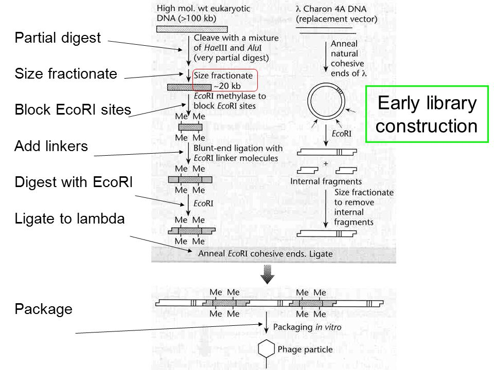 Partial digest Size fractionate Block EcoRI sites Add linkers Digest with EcoRI Ligate to lambda Package Early library construction
