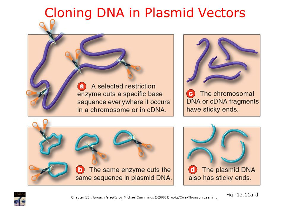 Chapter 13 Human Heredity by Michael Cummings ©2006 Brooks/Cole-Thomson Learning Fig. 13.11a-d Cloning DNA in Plasmid Vectors