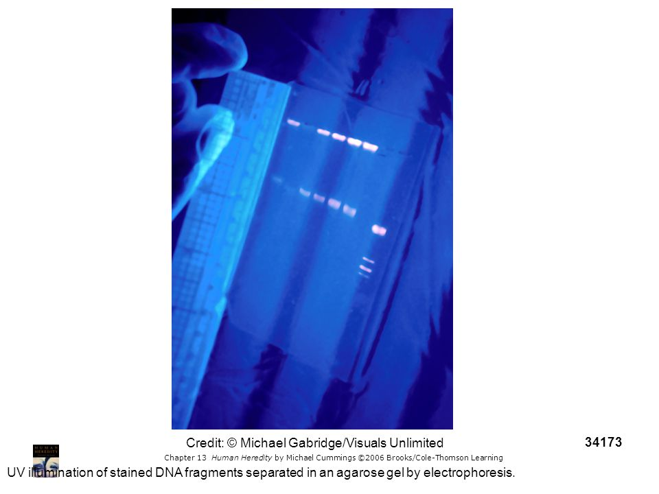 Chapter 13 Human Heredity by Michael Cummings ©2006 Brooks/Cole-Thomson Learning UV illumination of stained DNA fragments separated in an agarose gel
