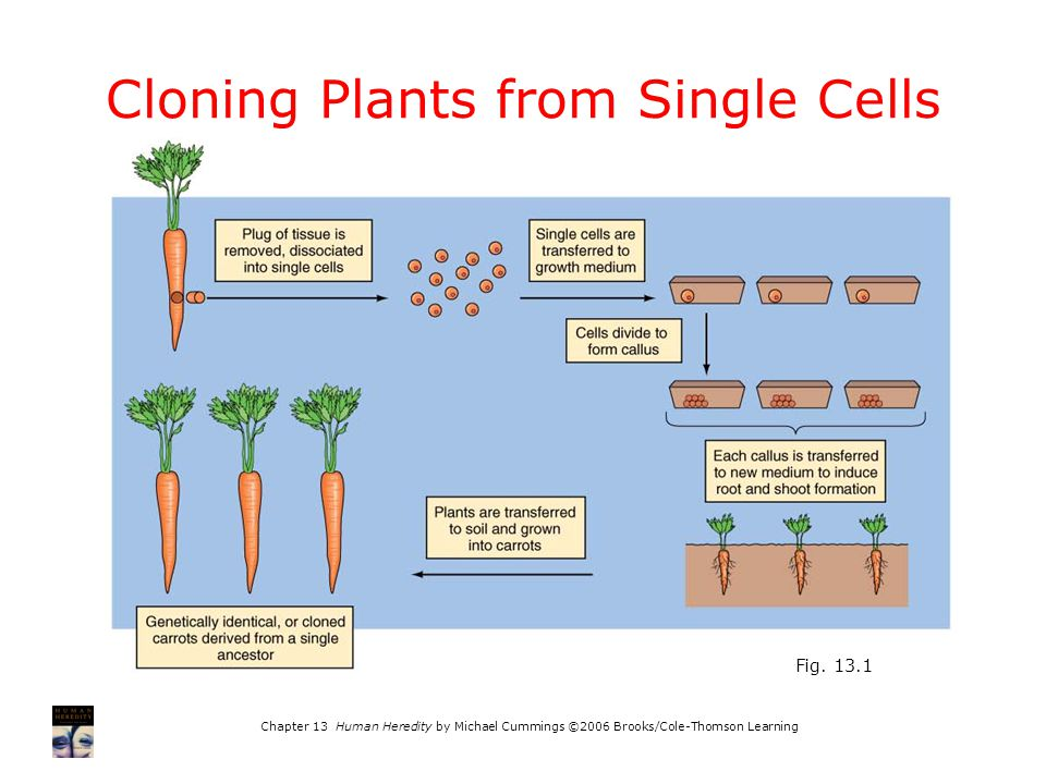 Chapter 13 Human Heredity by Michael Cummings ©2006 Brooks/Cole-Thomson Learning Cloning Plants from Single Cells Fig.