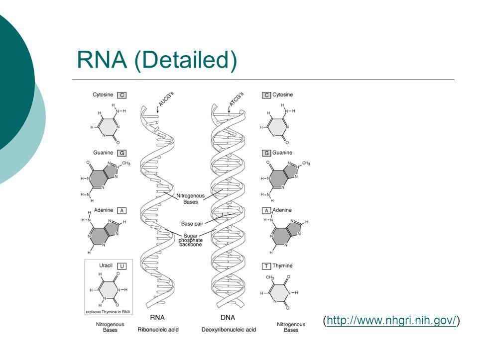 RNA (Detailed) (http://www.nhgri.nih.gov/)http://www.nhgri.nih.gov/