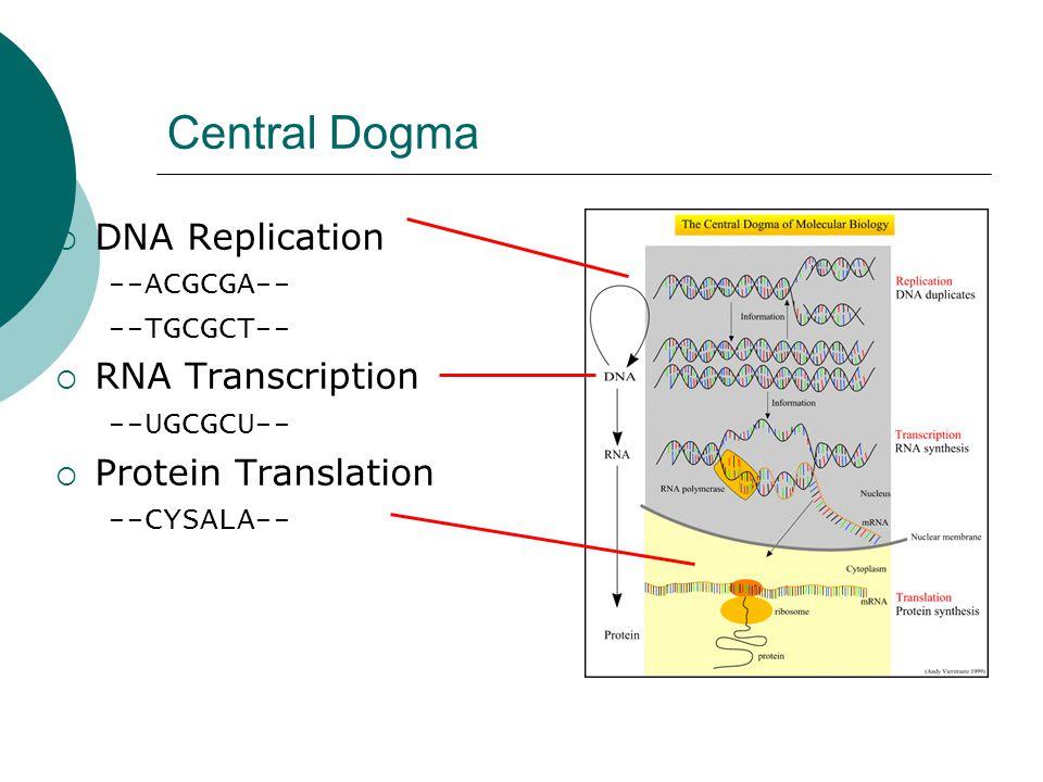 Central Dogma  DNA Replication --ACGCGA-- --TGCGCT--  RNA Transcription --UGCGCU--  Protein Translation --CYSALA--