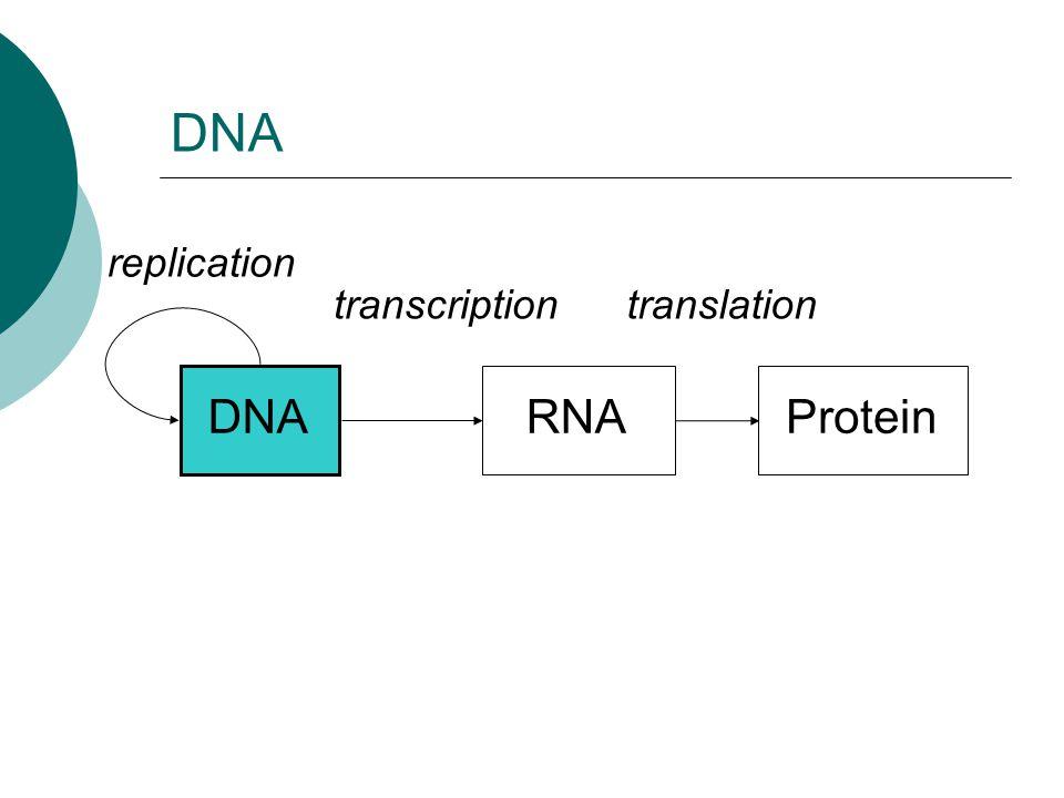 DNA RNAProtein replication transcriptiontranslation DNA