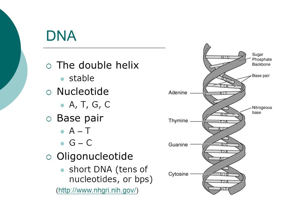  The double helix stable  Nucleotide A, T, G, C  Base pair A – T G – C  Oligonucleotide short DNA (tens of nucleotides, or bps) (http://www.nhgri.