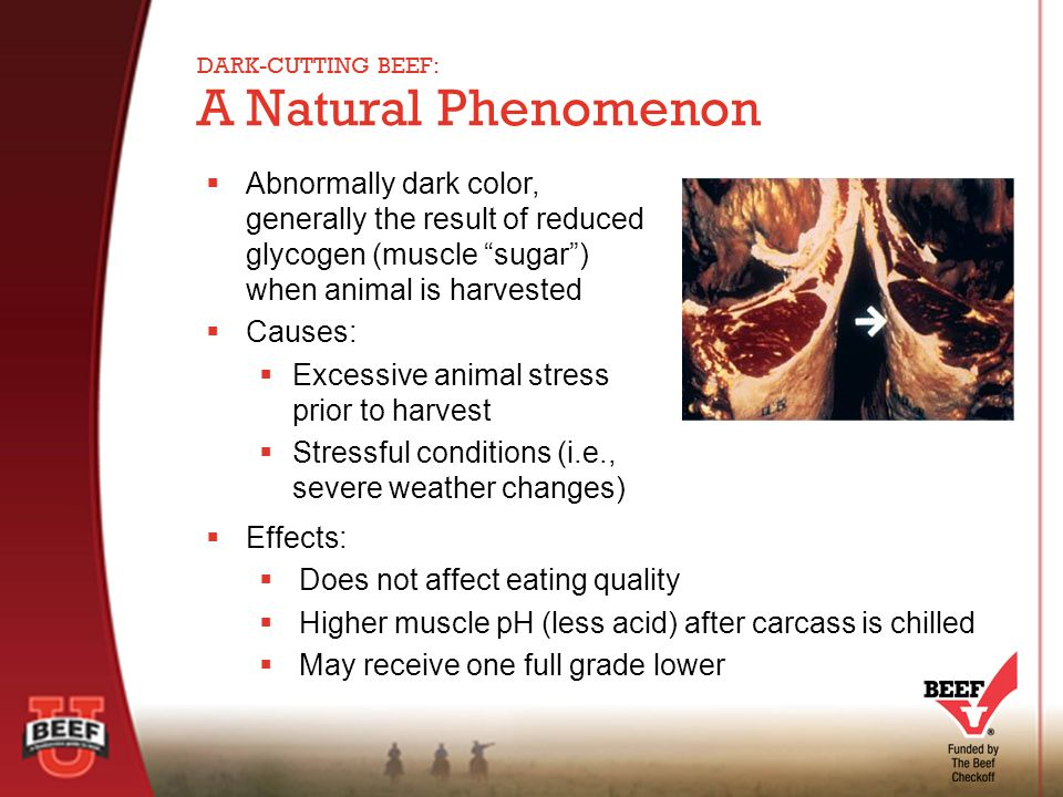  Abnormally dark color, generally the result of reduced glycogen (muscle sugar ) when animal is harvested  Causes:  Excessive animal stress prior to harvest  Stressful conditions (i.e., severe weather changes) A Natural Phenomenon DARK-CUTTING BEEF:  Effects:  Does not affect eating quality  Higher muscle pH (less acid) after carcass is chilled  May receive one full grade lower