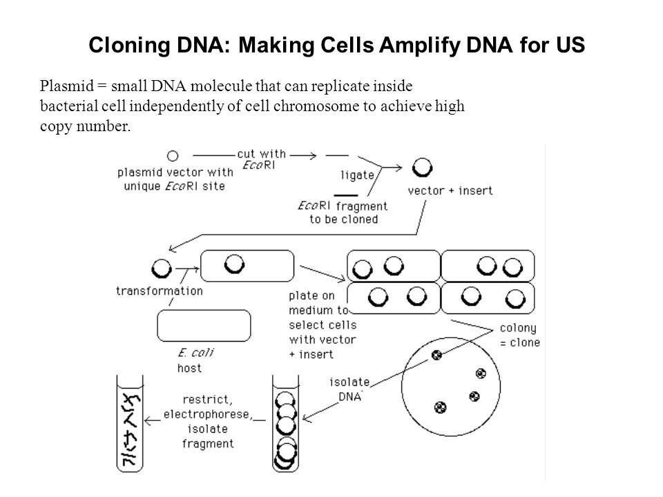 Cloning DNA: Making Cells Amplify DNA for US Plasmid = small DNA molecule that can replicate inside bacterial cell independently of cell chromosome to achieve high copy number.