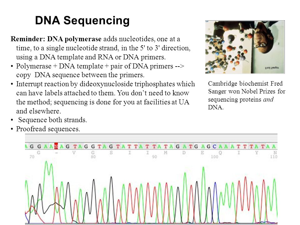 DNA Sequencing Reminder: DNA polymerase adds nucleotides, one at a time, to a single nucleotide strand, in the 5 to 3 direction, using a DNA template and RNA or DNA primers.