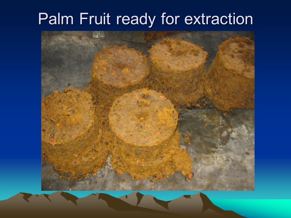 Palm Fruit ready for extraction