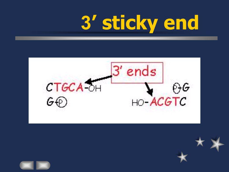 3' sticky end