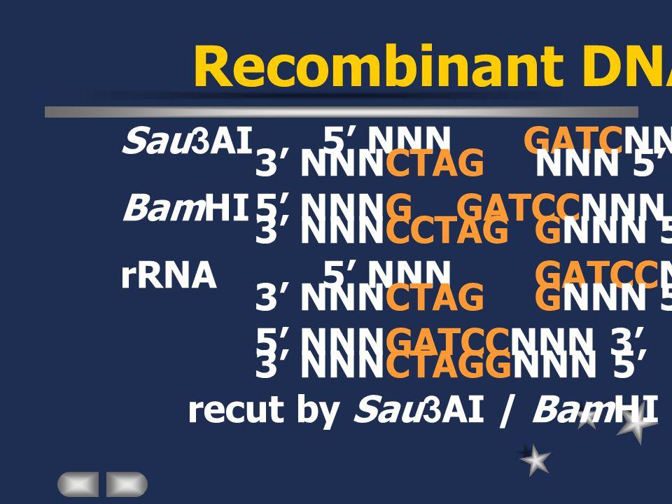 Recombinant DNA Sau3AI5' NNN GATCNNN 3' 3' NNNCTAG NNN 5' BamHI5' NNNGGATCCNNN 3' 3' NNNCCTAG GNNN 5' rRNA5' NNN GATCCNNN 3' 3' NNNCTAG GNNN 5' 5' NNNGATCCNNN 3' 3' NNNCTAGGNNN 5' recut by Sau3AI / BamHI