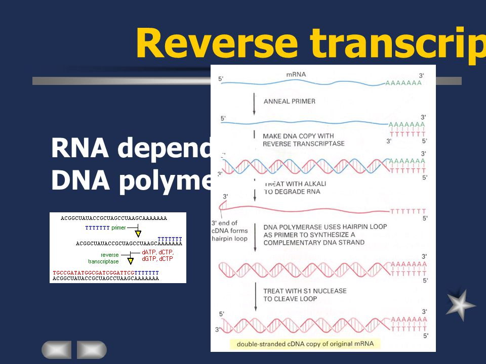 Reverse transcriptase RNA dependent DNA polymerase