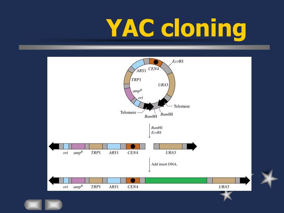 YAC cloning