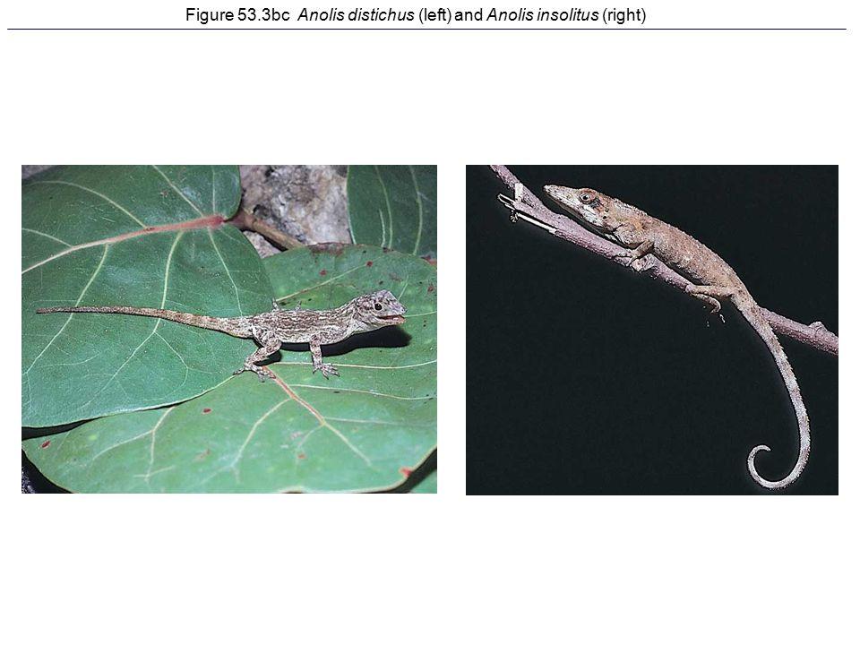 Figure 53.3bc Anolis distichus (left) and Anolis insolitus (right)
