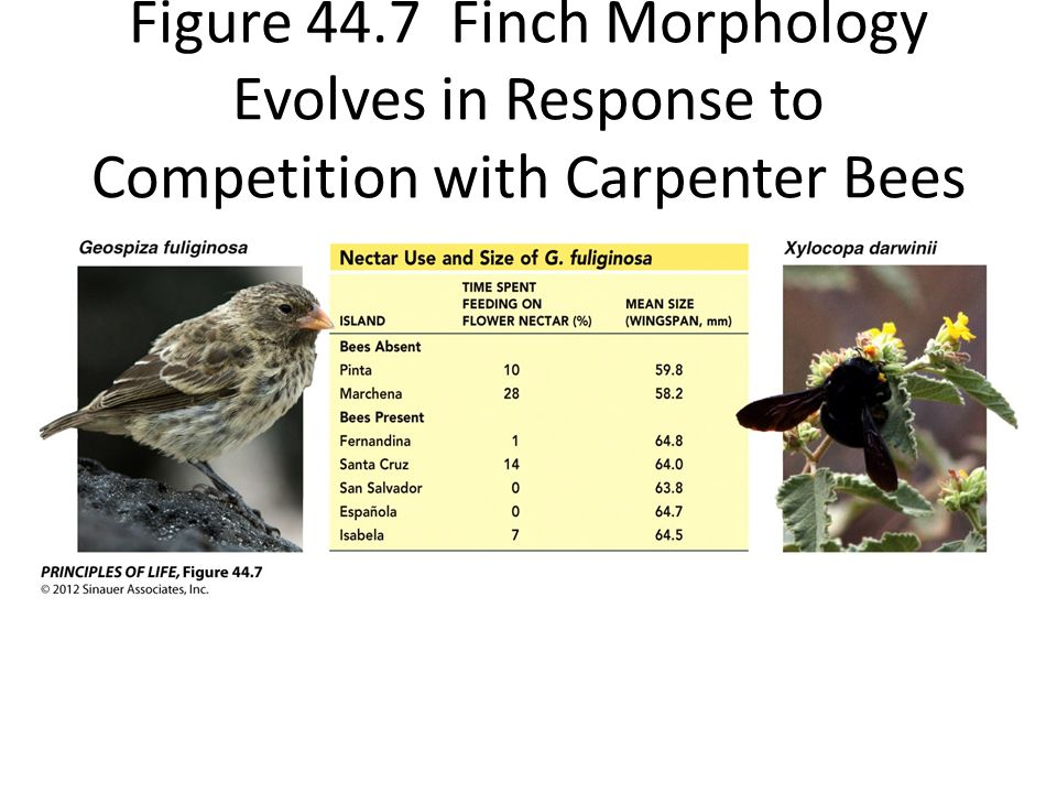 Figure 44.7 Finch Morphology Evolves in Response to Competition with Carpenter Bees