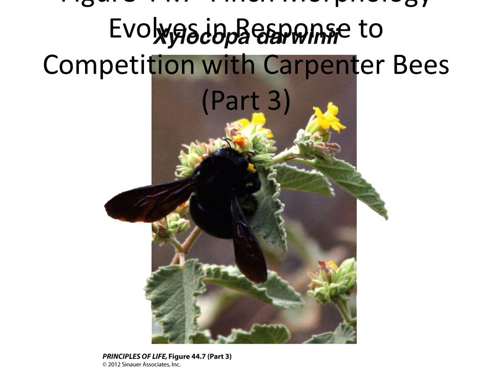 Figure 44.7 Finch Morphology Evolves in Response to Competition with Carpenter Bees (Part 3)