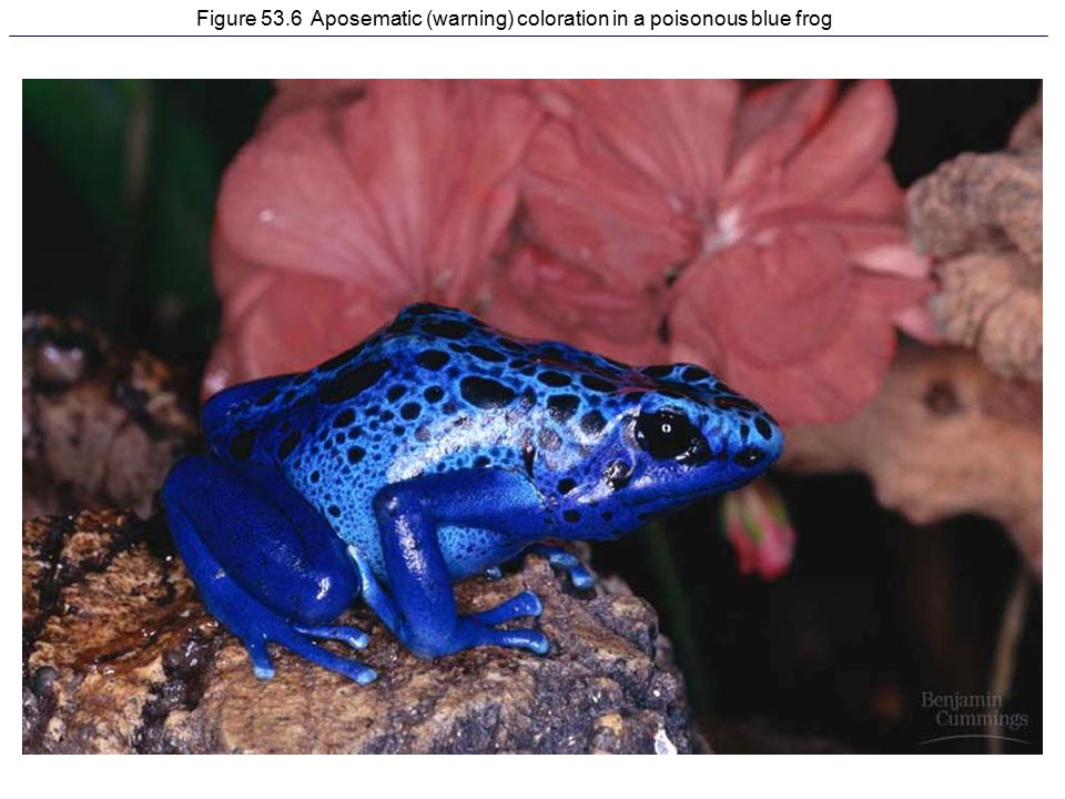 Figure 53.6 Aposematic (warning) coloration in a poisonous blue frog