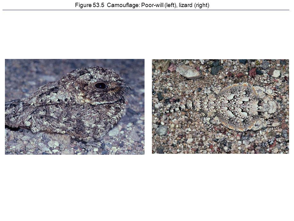 Figure 53.5 Camouflage: Poor-will (left), lizard (right)