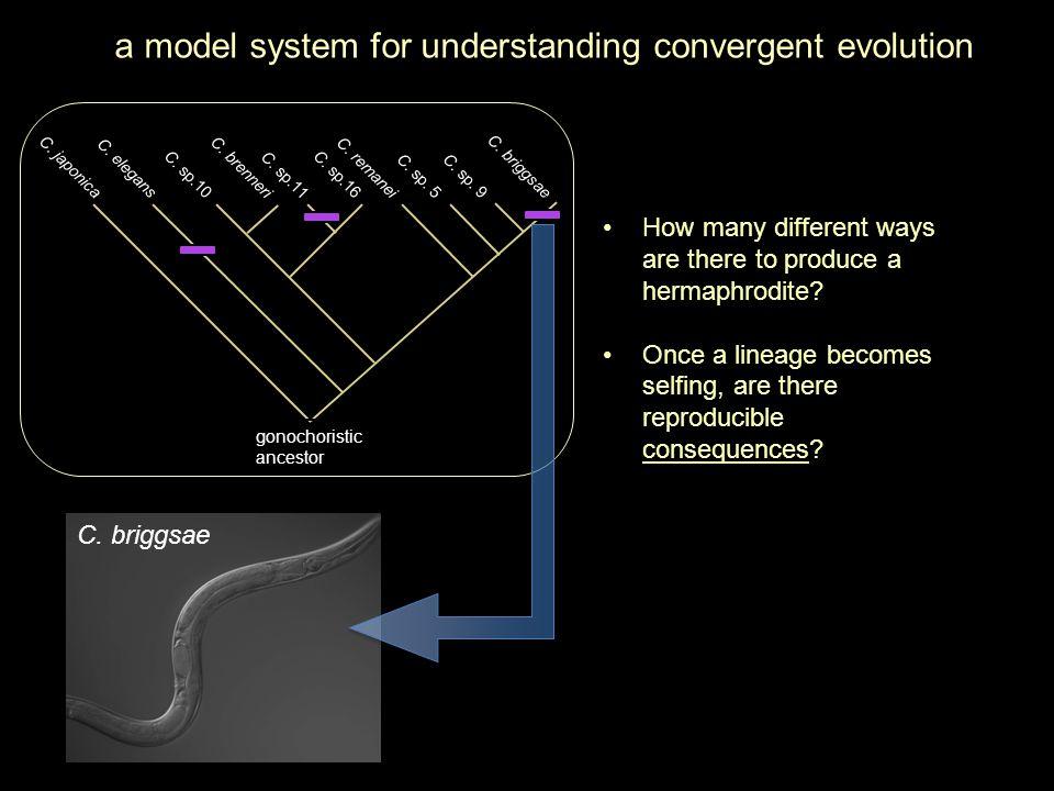 How do XX hermaphrodites make sperm? genetic sex determination in C. elegans