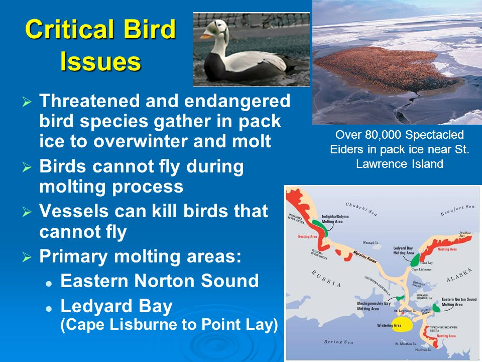 Critical Bird Issues   Threatened and endangered bird species gather in pack ice to overwinter and molt   Birds cannot fly during molting process
