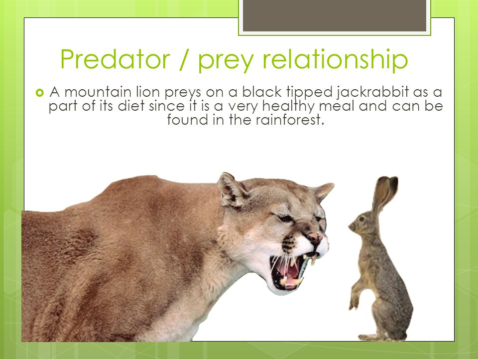 Predator / prey relationships  A bobcat preys on a Pine marten as a part of their daily diets.