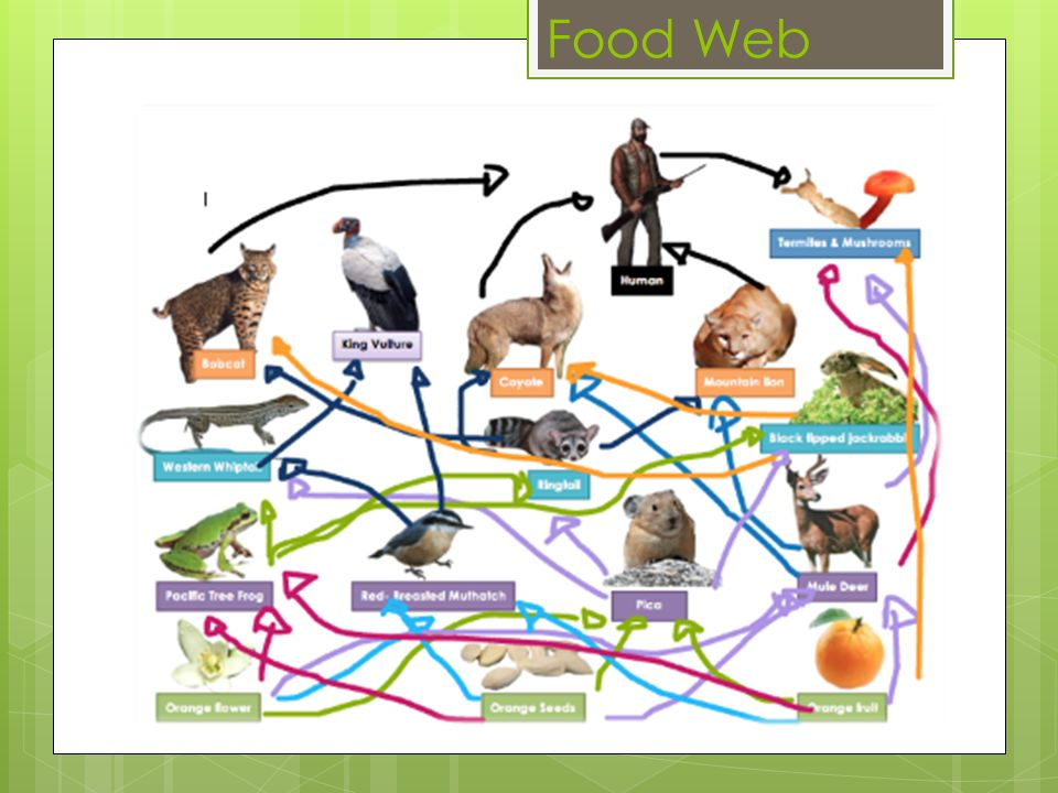 Food Web key: Producers First Level Consumers Second Level Consumers Third Level Consumers Decomposers Scavenger