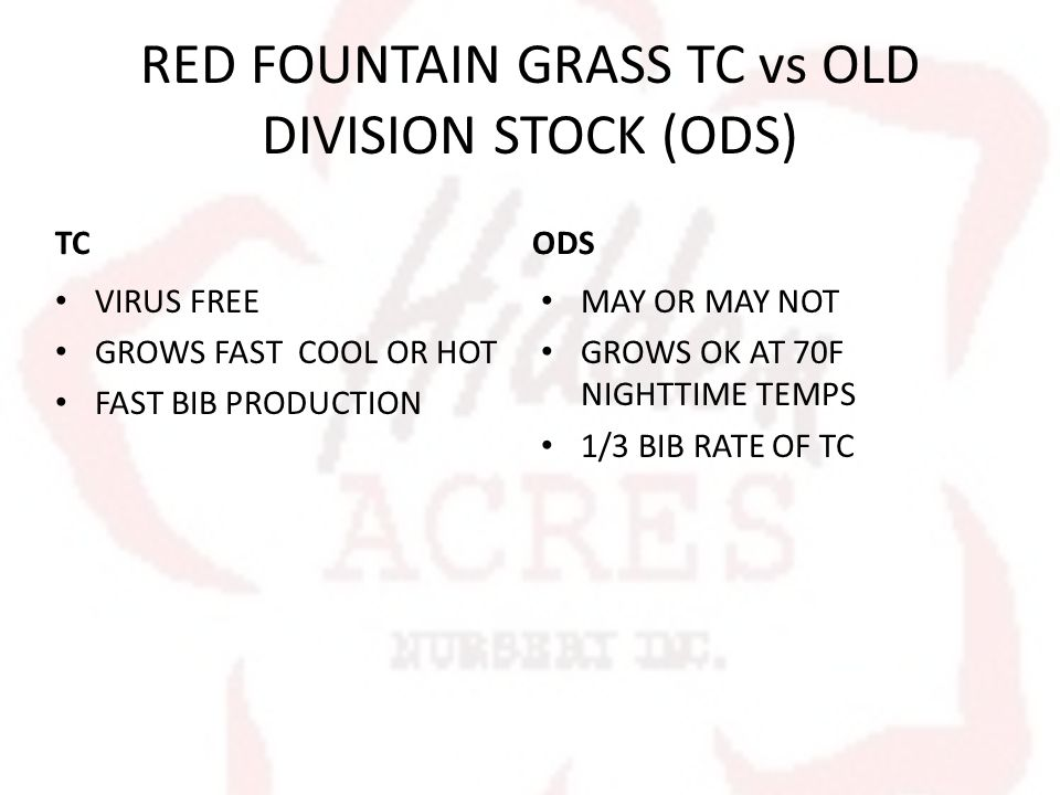 RED FOUNTAIN GRASS TC vs OLD DIVISION STOCK (ODS) TC VIRUS FREE GROWS FAST COOL OR HOT FAST BIB PRODUCTION ODS MAY OR MAY NOT GROWS OK AT 70F NIGHTTIME TEMPS 1/3 BIB RATE OF TC