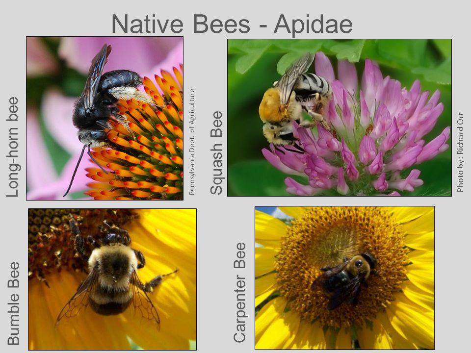 Native Bees - Apidae Pennsylvania Dept.
